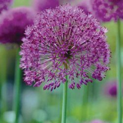 Allium hollandicum 'Purple Sensation' - Part of the Alan Titchmarsh Collection - 12 bulbs
