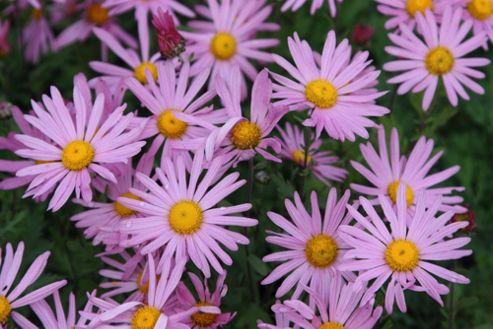 chrysathemum (Chrysanthemum 'Clara Curtis')
