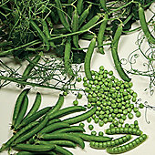 Pea 'Ceresa' (Petit Pois) - 1 packet (250 pea seeds)