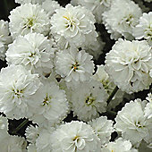 Achillea ptarmica 'Double Diamond' - 1 packet (80 seeds)