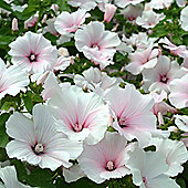 Lavatera trimestris 'Dwarf Pink Blush' - Part of the Alan Titchmarsh Collection - 1 packet (80 seeds)