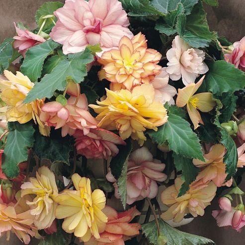 Begonia x tuberhybrida 'Show Angels Mixed' F1 Hybrid - 1 packet (40 seeds)