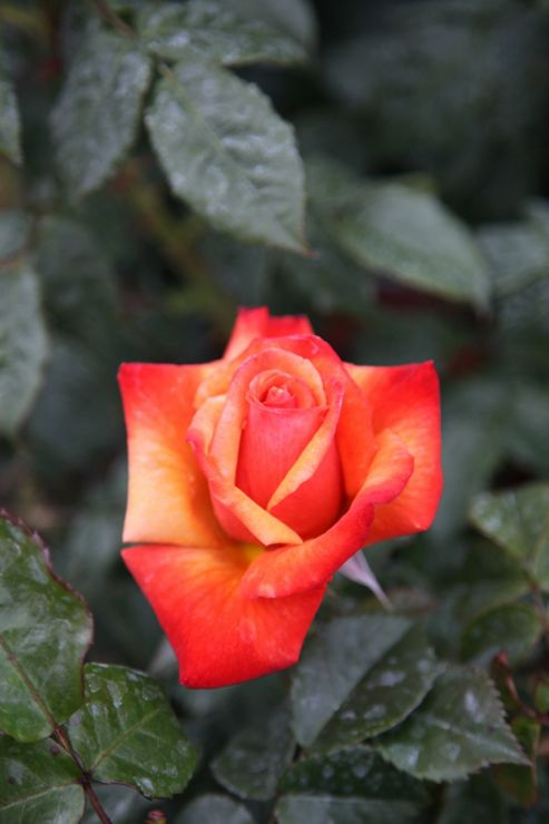 rose Remember Me (hybrid tea) (Rosa Remember Me ('Cocdestin') (PBR))