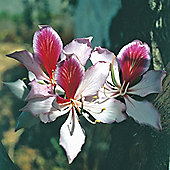 Purple Orchid Tree - Exotic Seed Collection - 1 packet (5 seeds)