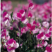 grandiflora sweet pea seed Painted Lady (Lathyrus odoratus 'Painted Lady')