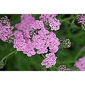 yarrow (Achillea millefolium 'Lilac Beauty')