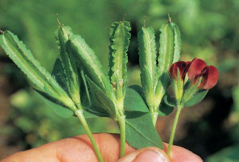 Asparagus pea (asparagus pea)