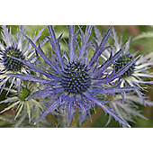 sea holly (Eryngium × zabelii 'Jos Eijking' (PBR))