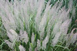 Korean feather reed grass (Calamagrostis brachytricha)