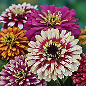 Zinnia elegans 'Whirlygig Mixed' - 1 packet (200 seeds)