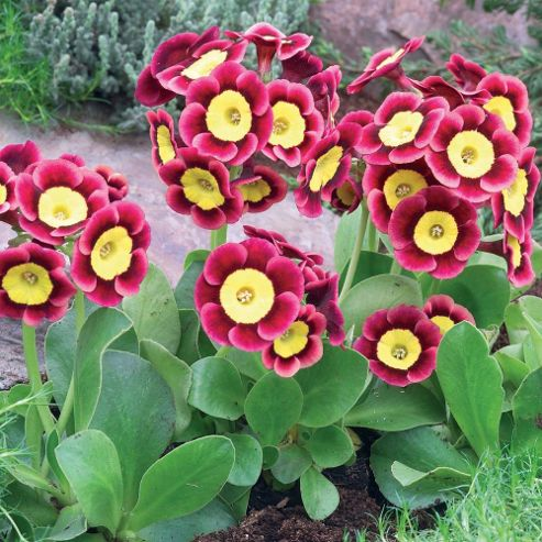 buy auricula 39 piers telford 39 1 plant in 9cm pot from our. Black Bedroom Furniture Sets. Home Design Ideas