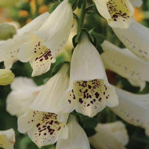 Foxglove 'Dalmatian Cream' F1 Hybrid - 1 packet (12 seeds)