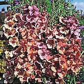 Verbascum x hybrida 'Southern Charm' F1 Hybrid - 1 packet (30 seeds)