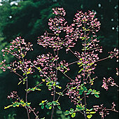 Thalictrum delavayi - 1 packet (40 seeds)