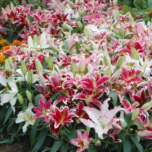 Lily 'Colour Carpet® Mixture' - 14 bulbs