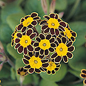 Polyanthus 'Gold Laced' - 1 packet (25 seeds)
