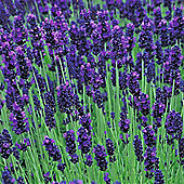 Lavender 'Hidcote' - 1 packet (50 seeds)