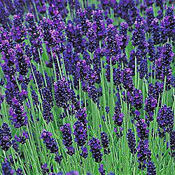 Lavender 'Hidcote' - 1 packet (50 seeds)