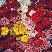 Chrysanthemum x koreanum 'Fanfare Improved' F1 Hybrid - 1 packet (40 seeds)