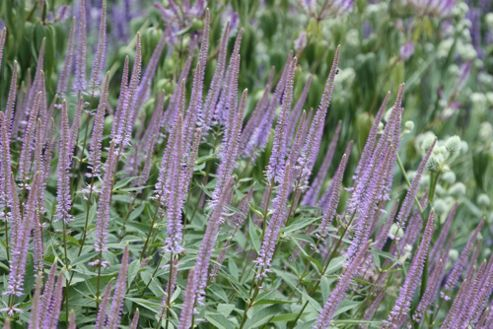 culver's root (Veronicastrum virginicum 'Fascination')