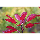 smoke bush (Cotinus coggygria 'Royal Purple')