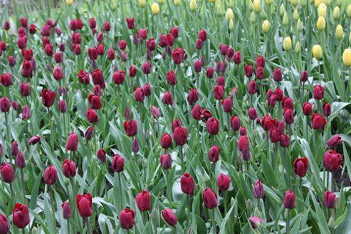 triumph tulip bulbs (Tulipa 'Jan Reus')