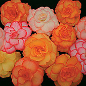 Begonia x tuberhybrida 'Blackmore & Langdon's Large Flowered Picotees Mixed' - 1 packet (20 seeds)