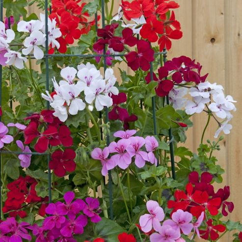 Geranium 'Skyrocket® Mixed' - 5 jumbo plugs + 1 frame