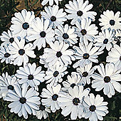 Osteospermum 'Glistening White' - 1 packet (80 seeds)