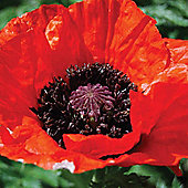 Poppy 'Beauty of Livermere' - Part of the Alan Titchmarsh Collection - 1 packet (100 seeds)