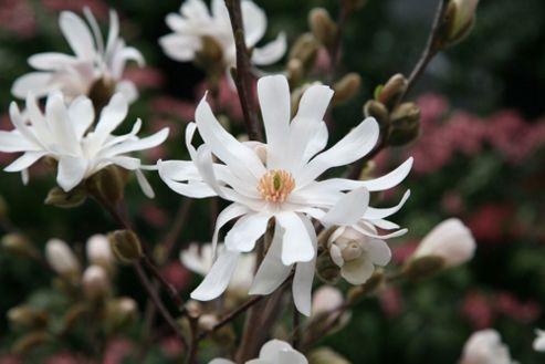 Magnolia (Magnolia stellata 'Waterlily')