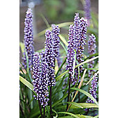 big blue lily-turf (Liriope muscari)
