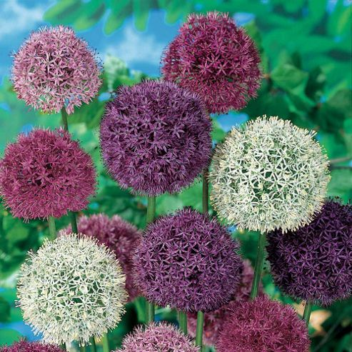 Alliums 'Big Impact Mixed' - 40 bulbs