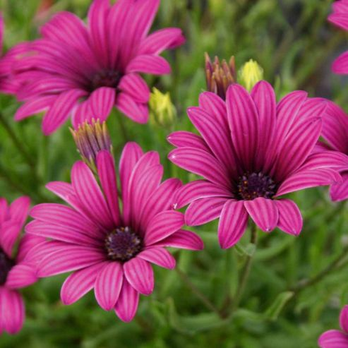 Osteospermum 'Tresco Purple' (Hardy) - 3 jumbo plugs