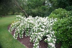 mock orange (Philadelphus 'Belle Etoile')