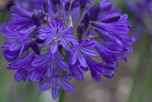 African lily (Agapanthus 'Northern Star' (PBR))