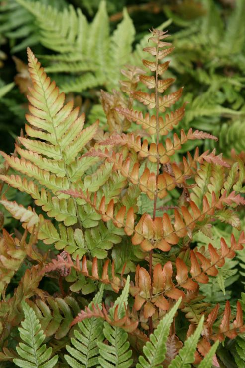 Japanese shield fern (Dryopteris erythrosora)