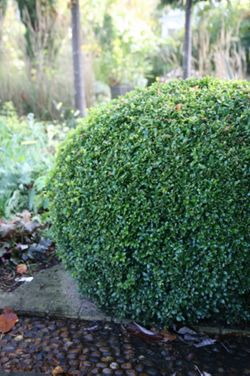 Common box (Buxus sempervirens Suffruticosa)