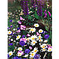 cottage garden collection (Cottage Garden collection)