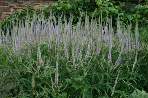 culver's root (Veronicastrum virginicum 'Lavendelturm')