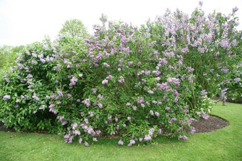 common Lilac (Syringa vulgaris 'Sensation')