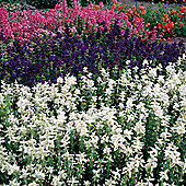 Salvia viridis 'Marble Arch Mixed' - 1 packet (80 seeds)
