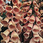 Foxglove 'Apricot' - 1 packet (450 seeds)