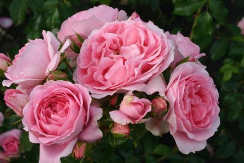 rose Friends Forever (floribunda) (Rosa Friends Forever ('Korapriber') (PBR))