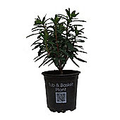 Euphorbia 'Baby Charm' 11cm Potted