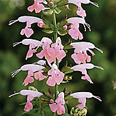 Salvia coccinea 'Summer Jewel Pink' - 1 packet (30 seeds)