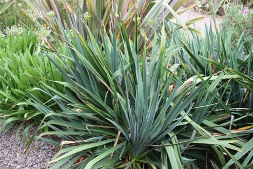 Adam's needle (Yucca filamentosa)