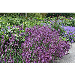 buy balkan clary salvia nemorosa 39 amethyst 39 from our. Black Bedroom Furniture Sets. Home Design Ideas