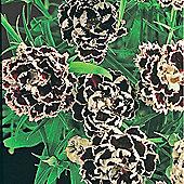 Dianthus chinensis heddewigii 'Black And White Minstrels' - 1 packet (30 seeds)