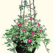 Morning Glory 'Cameo Elegance' - 1 packet (20 seeds)